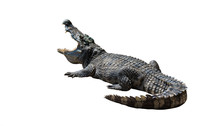 Crocodiles On White Background.