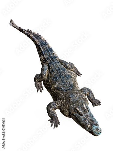 Foto op Canvas Krokodil Crocodiles on white background with clipping path.