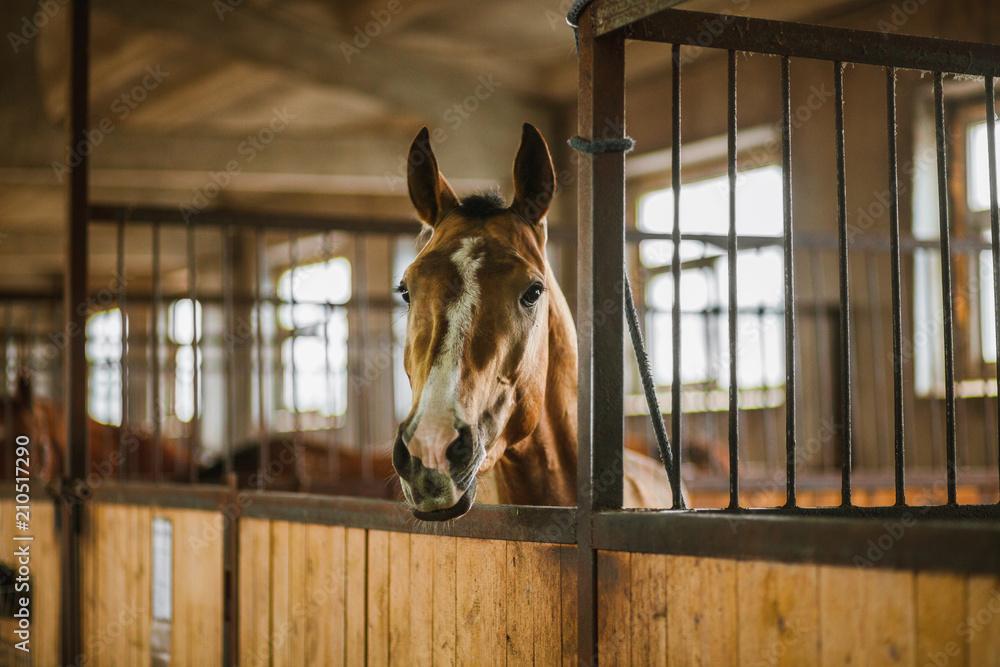 Obraz Beautiful horses, animals, pasture, stables, horseback riding fototapeta, plakat