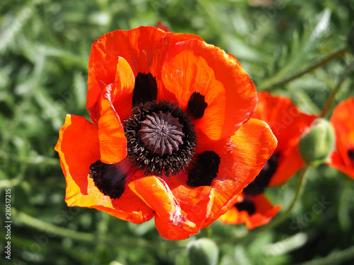 Beautiful red poppy flower on green natural background Canvas Print