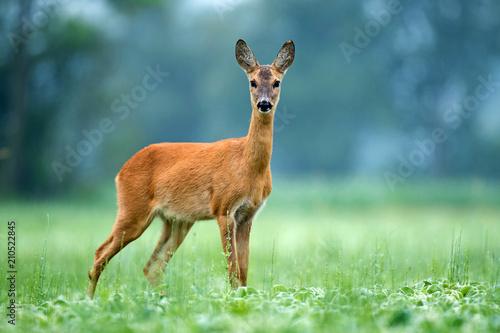 Canvas Roe deer standing in a field