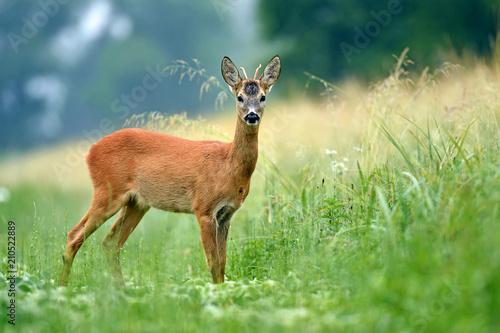 Foto op Plexiglas Ree Young roe buck standing in a field