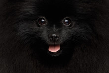 Close-up Portrait Of Happy Pom...