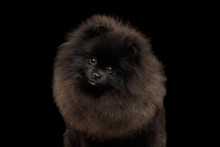 Portrait Of Furry Pomeranian S...