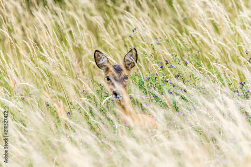 Reh versteckt sich im hohen Gras