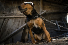 Puppy On A Chain In A Wooden B...