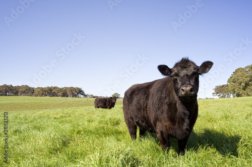 A dark colored cow in a green field in the south west of Australia Wallpaper Mural
