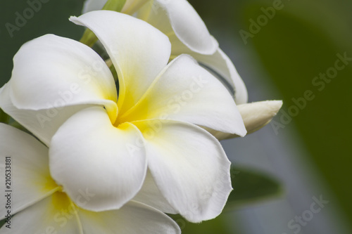 Spoed Foto op Canvas Frangipani Frangipani (plumeria) flower in sunlight.