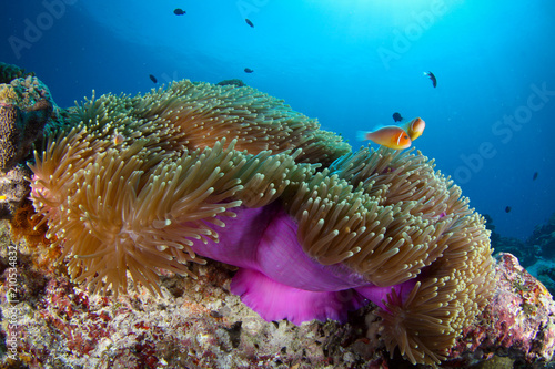 Staande foto Koraalriffen Coral reef with anemone and clownfish in Palau, Micronesia