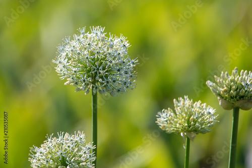 Naklejki na drzwi   zielone-kwiaty-czosnku