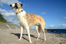 Young Male Borzoi Stands At A ...