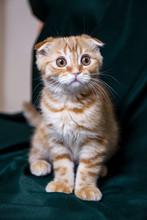Red Scottish Kitten