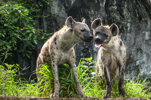 Spoed Foto op Canvas Hyena Hyena 2 stood in the forest in love.