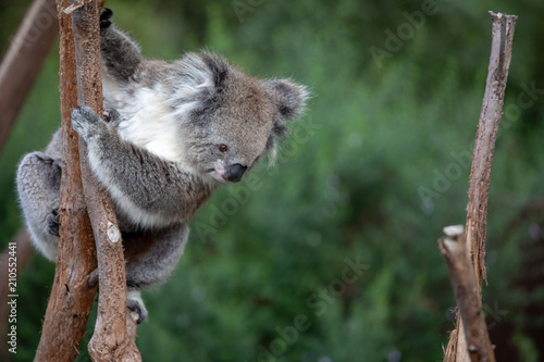 Canvas Prints Koala Koala