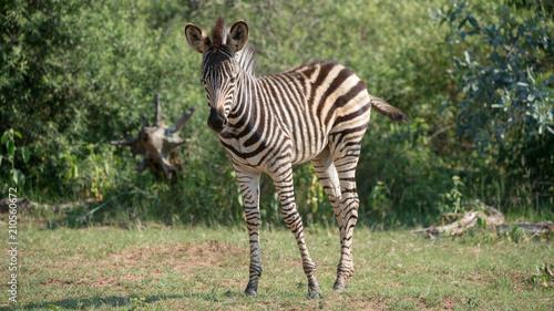 Deurstickers Afrika Junges Zebra im Busch in Afrika