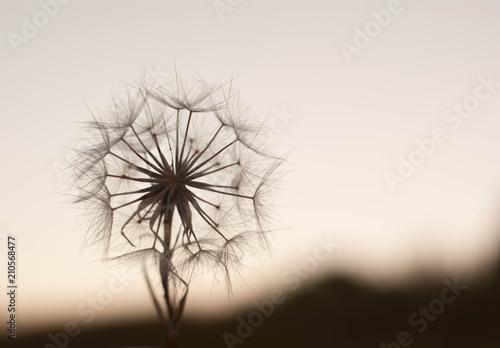 Foto op Plexiglas Macrofotografie Dandelion To Sunset - Freedom to Wish