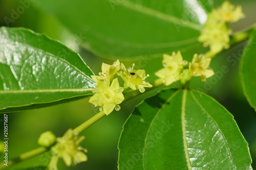 Small yellow flowers jujube (jujube real, Chinese date, capiinit, jojoba, lat. In the process jujuba)
