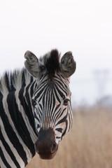 Fototapeta na wymiar Plains zebra, also known as the common zebra or Burchell's zebra (Equus quagga)