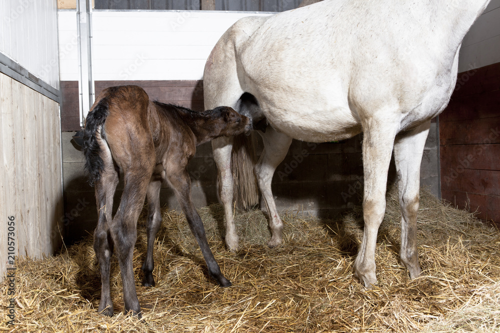 Foal drinks first time