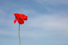 A Single Red Poppy Against A Blue Sky Background