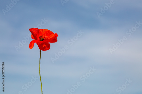 A single red poppy against a blue sky background Canvas Print