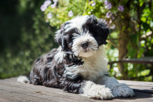 Funny Tibetan Terrier Puppy Is Sitting At The Table