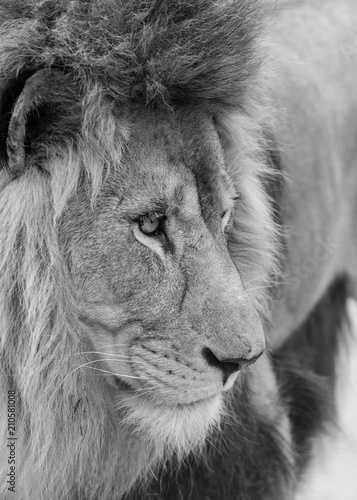 Fototapety, obrazy: Beautiful intimate portrait image of King of the Jungle Barbary Atlas Lion Panthera Leo in black and white