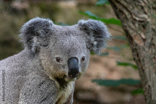 Poster Oceanië Queensland Koala
