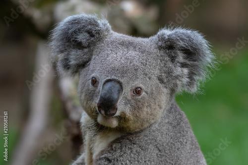Montage in der Fensternische Koala Queensland Koala