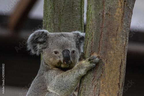 Staande foto Koala Queensland Koala