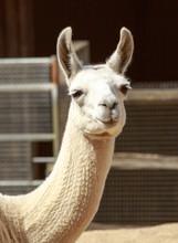 Captive White Alpaca Head Looking Directly Into Camera