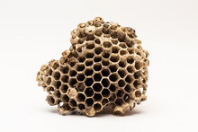 Nest Of Paper Wasp