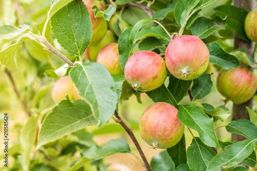 Apfelbaum auf einer Obstplantage mit grün roten Äpfeln