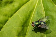 Green Bottle Fly (Lucilia Seri...