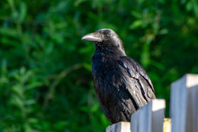 Carrion Crow Perched On A Wooden Fence Post