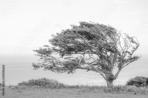 Fotografering Windswept Tree