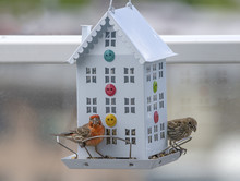 Colorful House Finch At Bird Feeder