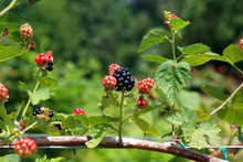 Ripe And Ripening Summer Blackberries On Branch.