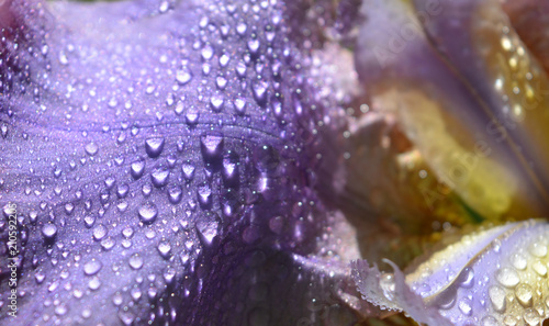 Staande foto Bloemen beautiful violet petal of an iris flower with large and small drops of rain, natural tender floral texture, background