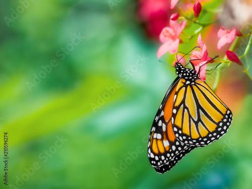 Fényképezés Close-up of a monarch butterfly, Danaus plexippus, upside-down pollinating a pin