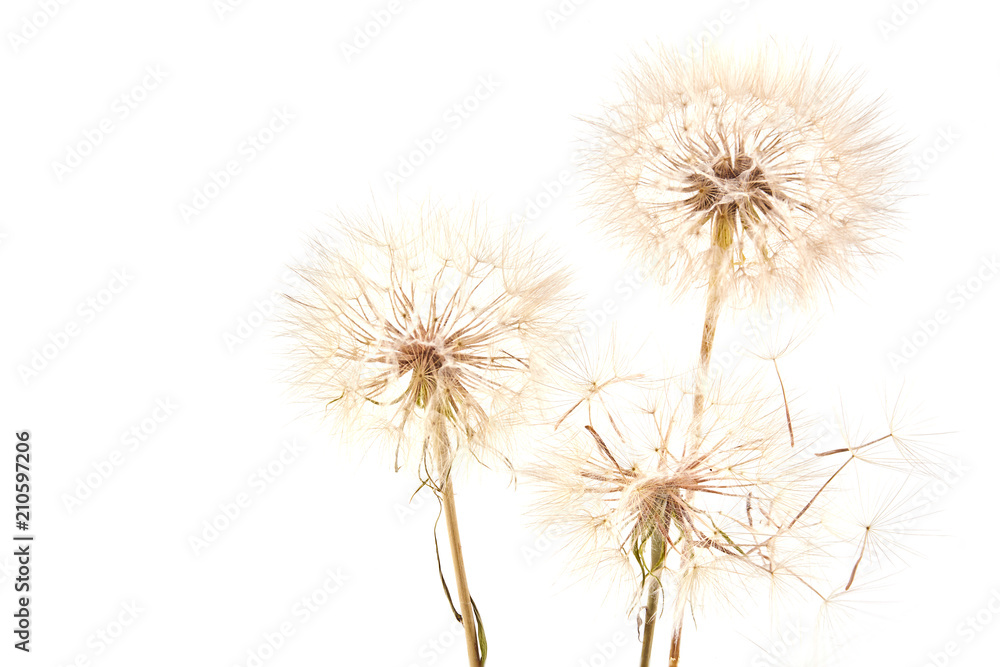 Fototapety, obrazy: Big dandelion on white