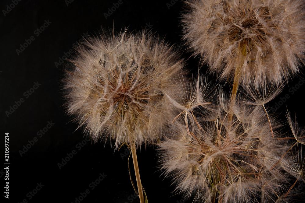 Fototapety, obrazy: Big dandelion on black background