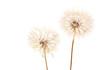Big dandelion on white