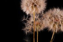 Big Dandelion On Black Background