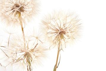 Fototapeta Dmuchawce Big dandelion on white