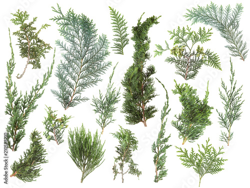 different kinds of fresh green isolated conifer leaves, fir branches on white, can be used as template for decoration, background