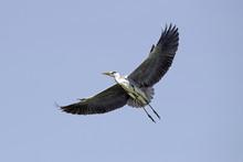 Graureiher (Ardea Cinerea) - Grey Heron