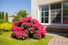 Pink Azalea Bush At The Garden