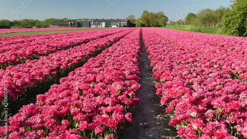 In de dag Candy roze Tulipani colorati in Olanda