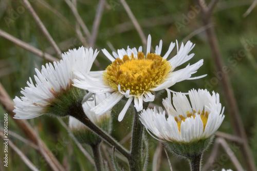 Foto op Canvas Madeliefjes Daisies Wildflowers